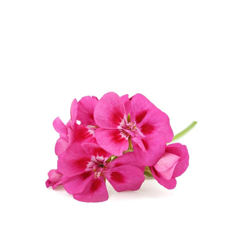 featured-ingredient_geranium